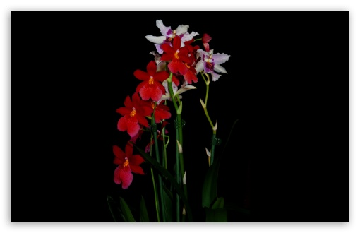 Cambria Orchids UltraHD Wallpaper for Wide 16:10 5:3 Widescreen WHXGA WQXGA WUXGA WXGA WGA ; 8K UHD TV 16:9 Ultra High Definition 2160p 1440p 1080p 900p 720p ; UHD 16:9 2160p 1440p 1080p 900p 720p ; Standard 4:3 5:4 3:2 Fullscreen UXGA XGA SVGA QSXGA SXGA DVGA HVGA HQVGA ( Apple PowerBook G4 iPhone 4 3G 3GS iPod Touch ) ; Tablet 1:1 ; iPad 1/2/Mini ; Mobile 4:3 5:3 3:2 16:9 5:4 - UXGA XGA SVGA WGA DVGA HVGA HQVGA ( Apple PowerBook G4 iPhone 4 3G 3GS iPod Touch ) 2160p 1440p 1080p 900p 720p QSXGA SXGA ; Dual 16:10 5:3 16:9 4:3 5:4 WHXGA WQXGA WUXGA WXGA WGA 2160p 1440p 1080p 900p 720p UXGA XGA SVGA QSXGA SXGA ;