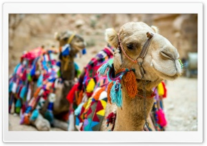 Camel Close-Up HD Wide Wallpaper for Widescreen