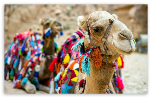 Camel Close-Up ❤ 4K UHD Wallpaper for Wide 16:10 5:3 Widescreen WHXGA WQXGA WUXGA WXGA WGA ; 4K UHD 16:9 Ultra High Definition 2160p 1440p 1080p 900p 720p ; UHD 16:9 2160p 1440p 1080p 900p 720p ; Standard 4:3 5:4 3:2 Fullscreen UXGA XGA SVGA QSXGA SXGA DVGA HVGA HQVGA ( Apple PowerBook G4 iPhone 4 3G 3GS iPod Touch ) ; Tablet 1:1 ; iPad 1/2/Mini ; Mobile 4:3 5:3 3:2 16:9 5:4 - UXGA XGA SVGA WGA DVGA HVGA HQVGA ( Apple PowerBook G4 iPhone 4 3G 3GS iPod Touch ) 2160p 1440p 1080p 900p 720p QSXGA SXGA ;