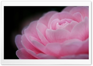 Camellia HD Wide Wallpaper for Widescreen