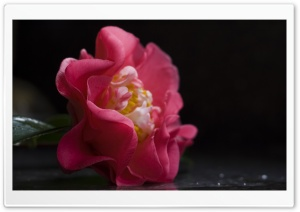 Camellia Flower HD Wide Wallpaper for Widescreen