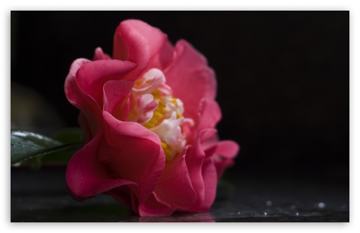 Camellia Flower ❤ 4K UHD Wallpaper for Wide 16:10 5:3 Widescreen WHXGA WQXGA WUXGA WXGA WGA ; 4K UHD 16:9 Ultra High Definition 2160p 1440p 1080p 900p 720p ; Standard 4:3 5:4 3:2 Fullscreen UXGA XGA SVGA QSXGA SXGA DVGA HVGA HQVGA ( Apple PowerBook G4 iPhone 4 3G 3GS iPod Touch ) ; Tablet 1:1 ; iPad 1/2/Mini ; Mobile 4:3 5:3 3:2 16:9 5:4 - UXGA XGA SVGA WGA DVGA HVGA HQVGA ( Apple PowerBook G4 iPhone 4 3G 3GS iPod Touch ) 2160p 1440p 1080p 900p 720p QSXGA SXGA ;
