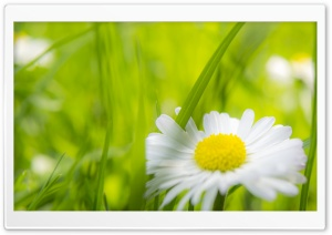 Camomile HD Wide Wallpaper for Widescreen