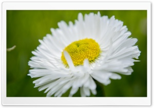 Camomile Macro HD Wide Wallpaper for Widescreen