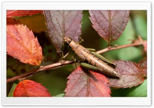 Camouflaged Grasshopper HD Wide Wallpaper for Widescreen