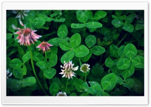 Can You Find a Four-Leaf Clover HD Wide Wallpaper for Widescreen