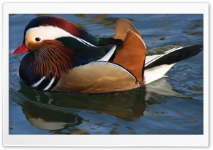 Canard Ente HD Wide Wallpaper for Widescreen