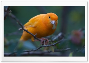 Canary HD Wide Wallpaper for Widescreen