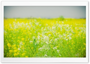 Canola HD Wide Wallpaper for Widescreen