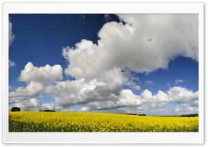 Canola Field HD Wide Wallpaper for Widescreen