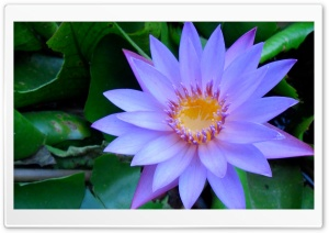 Cape Blue Water Lily HD Wide Wallpaper for Widescreen