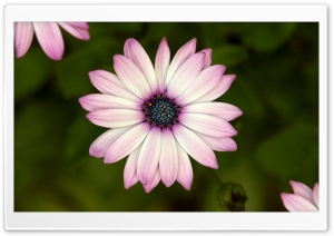 Cape Daisy HD Wide Wallpaper for Widescreen