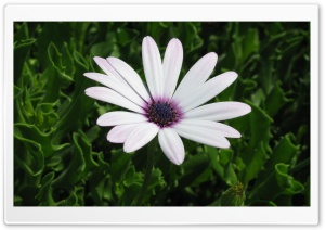 Cape Daisy Flower HD Wide Wallpaper for Widescreen