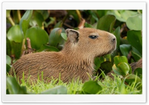 Capybara Venezuela HD Wide Wallpaper for Widescreen