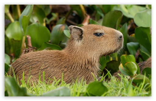 Capybara Venezuela HD wallpaper for Wide 16:10 5:3 Widescreen WHXGA WQXGA WUXGA WXGA WGA ; HD 16:9 High Definition WQHD QWXGA 1080p 900p 720p QHD nHD ; Standard 4:3 5:4 3:2 Fullscreen UXGA XGA SVGA QSXGA SXGA DVGA HVGA HQVGA devices ( Apple PowerBook G4 iPhone 4 3G 3GS iPod Touch ) ; iPad 1/2/Mini ; Mobile 4:3 5:3 3:2 16:9 5:4 - UXGA XGA SVGA WGA DVGA HVGA HQVGA devices ( Apple PowerBook G4 iPhone 4 3G 3GS iPod Touch ) WQHD QWXGA 1080p 900p 720p QHD nHD QSXGA SXGA ;