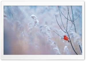 Cardinal Bird HD Wide Wallpaper for Widescreen