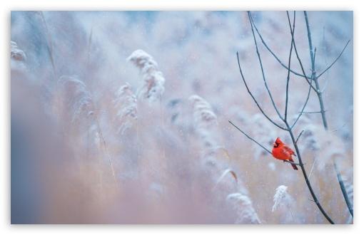 Cardinal Bird 4K HD Desktop Wallpaper For 4K Ultra HD TV