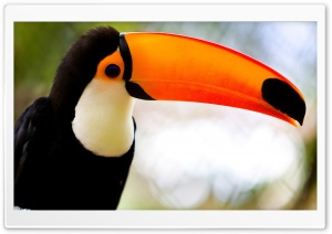 Caribbean Toucan HD Wide Wallpaper for 4K UHD Widescreen desktop & smartphone