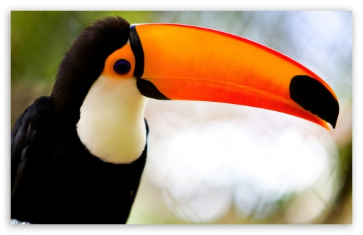 Caribbean Toucan HD wallpaper for Wide 16:10 5:3 Widescreen WHXGA WQXGA WUXGA WXGA WGA ; HD 16:9 High Definition WQHD QWXGA 1080p 900p 720p QHD nHD ; Standard 4:3 3:2 Fullscreen UXGA XGA SVGA DVGA HVGA HQVGA devices ( Apple PowerBook G4 iPhone 4 3G 3GS iPod Touch ) ; iPad 1/2/Mini ; Mobile 4:3 5:3 3:2 16:9 - UXGA XGA SVGA WGA DVGA HVGA HQVGA devices ( Apple PowerBook G4 iPhone 4 3G 3GS iPod Touch ) WQHD QWXGA 1080p 900p 720p QHD nHD ;