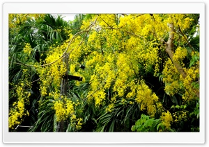 Cassia Fistula HD Wide Wallpaper for Widescreen