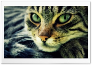 Cat HD Wide Wallpaper for 4K UHD Widescreen desktop & smartphone