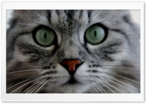 Cat Close up HD Wide Wallpaper for Widescreen