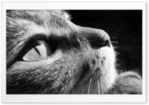 Cat Close Up BW HD Wide Wallpaper for Widescreen