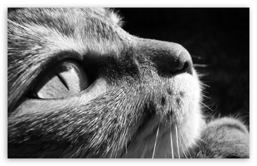 Cat Close Up BW ❤ 4K UHD Wallpaper for Wide 16:10 5:3 Widescreen WHXGA WQXGA WUXGA WXGA WGA ; 4K UHD 16:9 Ultra High Definition 2160p 1440p 1080p 900p 720p ; Standard 4:3 5:4 3:2 Fullscreen UXGA XGA SVGA QSXGA SXGA DVGA HVGA HQVGA ( Apple PowerBook G4 iPhone 4 3G 3GS iPod Touch ) ; iPad 1/2/Mini ; Mobile 4:3 5:3 3:2 16:9 5:4 - UXGA XGA SVGA WGA DVGA HVGA HQVGA ( Apple PowerBook G4 iPhone 4 3G 3GS iPod Touch ) 2160p 1440p 1080p 900p 720p QSXGA SXGA ;