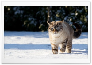 Cat In The Snow HD Wide Wallpaper for 4K UHD Widescreen desktop & smartphone