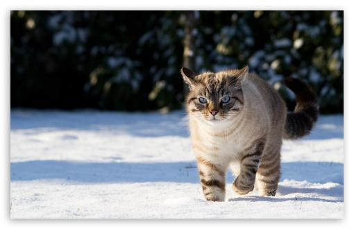 Cat In The Snow HD wallpaper for Standard 4:3 5:4 Fullscreen UXGA XGA SVGA QSXGA SXGA ; Wide 16:10 5:3 Widescreen WHXGA WQXGA WUXGA WXGA WGA ; HD 16:9 High Definition WQHD QWXGA 1080p 900p 720p QHD nHD ; Other 3:2 DVGA HVGA HQVGA devices ( Apple PowerBook G4 iPhone 4 3G 3GS iPod Touch ) ; Mobile VGA WVGA iPhone iPad PSP Phone - VGA QVGA Smartphone ( PocketPC GPS iPod Zune BlackBerry HTC Samsung LG Nokia Eten Asus ) WVGA WQVGA Smartphone ( HTC Samsung Sony Ericsson LG Vertu MIO ) HVGA Smartphone ( Apple iPhone iPod BlackBerry HTC Samsung Nokia ) Sony PSP Zune HD Zen ; Tablet 2 ;