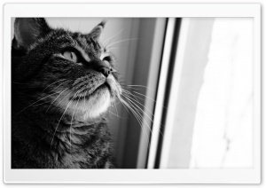 Cat Looking Out Window HD Wide Wallpaper for Widescreen