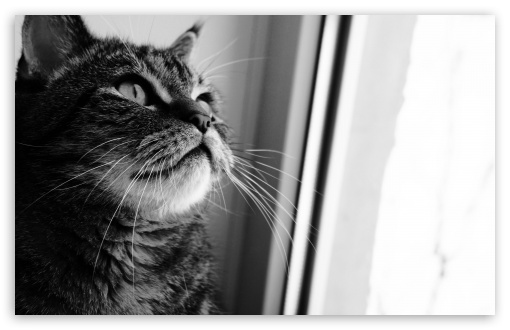 Cat Looking Out Window ❤ 4K UHD Wallpaper for Wide 16:10 5:3 Widescreen WHXGA WQXGA WUXGA WXGA WGA ; 4K UHD 16:9 Ultra High Definition 2160p 1440p 1080p 900p 720p ; Standard 4:3 5:4 3:2 Fullscreen UXGA XGA SVGA QSXGA SXGA DVGA HVGA HQVGA ( Apple PowerBook G4 iPhone 4 3G 3GS iPod Touch ) ; Tablet 1:1 ; iPad 1/2/Mini ; Mobile 4:3 5:3 3:2 16:9 5:4 - UXGA XGA SVGA WGA DVGA HVGA HQVGA ( Apple PowerBook G4 iPhone 4 3G 3GS iPod Touch ) 2160p 1440p 1080p 900p 720p QSXGA SXGA ;