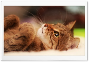 Cat Lying On Back HD Wide Wallpaper for Widescreen