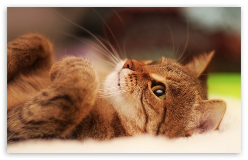 Cat Lying On Back UltraHD Wallpaper for Wide 16:10 5:3 Widescreen WHXGA WQXGA WUXGA WXGA WGA ; 8K UHD TV 16:9 Ultra High Definition 2160p 1440p 1080p 900p 720p ; UHD 16:9 2160p 1440p 1080p 900p 720p ; Standard 4:3 5:4 3:2 Fullscreen UXGA XGA SVGA QSXGA SXGA DVGA HVGA HQVGA ( Apple PowerBook G4 iPhone 4 3G 3GS iPod Touch ) ; Smartphone 5:3 WGA ; Tablet 1:1 ; iPad 1/2/Mini ; Mobile 4:3 5:3 3:2 16:9 5:4 - UXGA XGA SVGA WGA DVGA HVGA HQVGA ( Apple PowerBook G4 iPhone 4 3G 3GS iPod Touch ) 2160p 1440p 1080p 900p 720p QSXGA SXGA ; Dual 16:10 5:3 16:9 4:3 5:4 WHXGA WQXGA WUXGA WXGA WGA 2160p 1440p 1080p 900p 720p UXGA XGA SVGA QSXGA SXGA ;