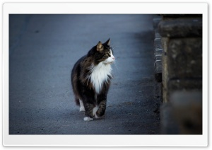 Cat on the Walk HD Wide Wallpaper for Widescreen