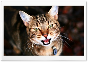 Cat Portrait 1 HD Wide Wallpaper for Widescreen