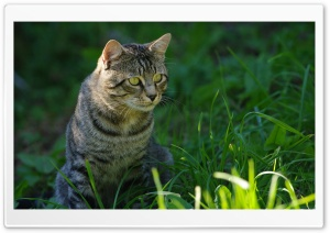 Cat Staring HD Wide Wallpaper for Widescreen
