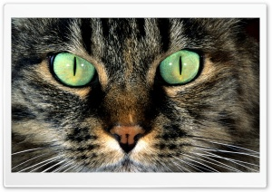 Cat With Green Eyes HD Wide Wallpaper for Widescreen