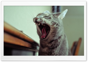 Cat Yawn HD Wide Wallpaper for 4K UHD Widescreen desktop & smartphone