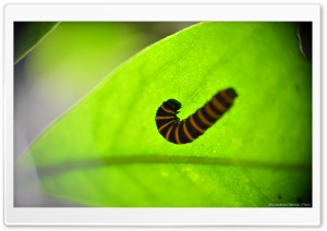 Caterpillar in a Leaf HD Wide Wallpaper for 4K UHD Widescreen desktop & smartphone