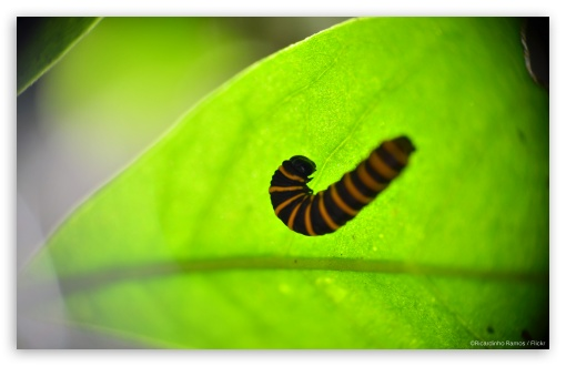 Caterpillar in a Leaf HD wallpaper for Wide 16:10 5:3 Widescreen WHXGA WQXGA WUXGA WXGA WGA ; HD 16:9 High Definition WQHD QWXGA 1080p 900p 720p QHD nHD ; Standard 4:3 5:4 3:2 Fullscreen UXGA XGA SVGA QSXGA SXGA DVGA HVGA HQVGA devices ( Apple PowerBook G4 iPhone 4 3G 3GS iPod Touch ) ; Tablet 1:1 ; iPad 1/2/Mini ; Mobile 4:3 5:3 3:2 16:9 5:4 - UXGA XGA SVGA WGA DVGA HVGA HQVGA devices ( Apple PowerBook G4 iPhone 4 3G 3GS iPod Touch ) WQHD QWXGA 1080p 900p 720p QHD nHD QSXGA SXGA ;