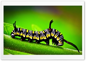 Caterpillar, Macro HD Wide Wallpaper for Widescreen