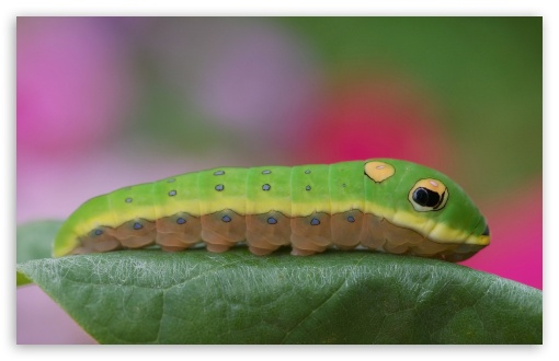 Caterpillar On A Leaf ❤ 4K UHD Wallpaper for Wide 16:10 5:3 Widescreen WHXGA WQXGA WUXGA WXGA WGA ; 4K UHD 16:9 Ultra High Definition 2160p 1440p 1080p 900p 720p ; Standard 3:2 Fullscreen DVGA HVGA HQVGA ( Apple PowerBook G4 iPhone 4 3G 3GS iPod Touch ) ; Mobile 5:3 3:2 16:9 - WGA DVGA HVGA HQVGA ( Apple PowerBook G4 iPhone 4 3G 3GS iPod Touch ) 2160p 1440p 1080p 900p 720p ;