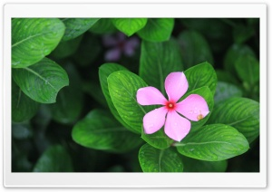 Catharanthus HD Wide Wallpaper for 4K UHD Widescreen desktop & smartphone