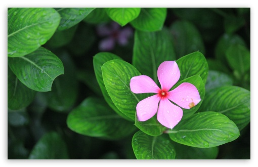 Catharanthus UltraHD Wallpaper for Wide 16:10 5:3 Widescreen WHXGA WQXGA WUXGA WXGA WGA ; UltraWide 21:9 24:10 ; 8K UHD TV 16:9 Ultra High Definition 2160p 1440p 1080p 900p 720p ; UHD 16:9 2160p 1440p 1080p 900p 720p ; Standard 4:3 5:4 3:2 Fullscreen UXGA XGA SVGA QSXGA SXGA DVGA HVGA HQVGA ( Apple PowerBook G4 iPhone 4 3G 3GS iPod Touch ) ; Smartphone 16:9 3:2 5:3 2160p 1440p 1080p 900p 720p DVGA HVGA HQVGA ( Apple PowerBook G4 iPhone 4 3G 3GS iPod Touch ) WGA ; Tablet 1:1 ; iPad 1/2/Mini ; Mobile 4:3 5:3 3:2 16:9 5:4 - UXGA XGA SVGA WGA DVGA HVGA HQVGA ( Apple PowerBook G4 iPhone 4 3G 3GS iPod Touch ) 2160p 1440p 1080p 900p 720p QSXGA SXGA ;