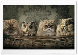 Cats And Owl HD Wide Wallpaper for Widescreen
