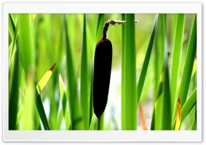 Cattail HD Wide Wallpaper for Widescreen