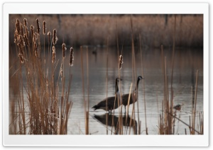Cattails HD Wide Wallpaper for Widescreen