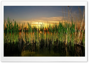 Cattails In Pond HD Wide Wallpaper for Widescreen