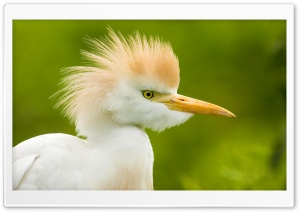 Cattle Egret Florida HD Wide Wallpaper for 4K UHD Widescreen desktop & smartphone